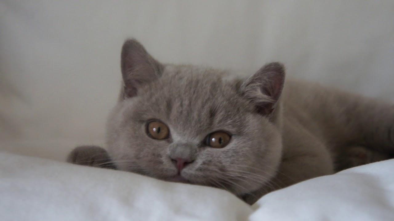 Harry British Shorthair Cattery