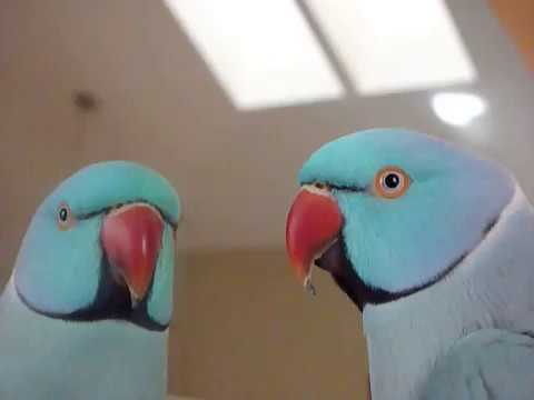5 Yrs Old Indian Ringneck Sky- Talking (new words), following directions, playing with toys.