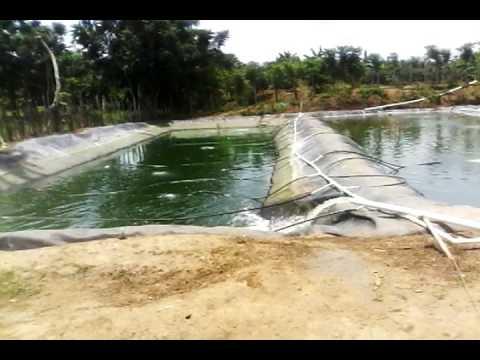Recambio de agua cultivo de tilapia roja youtube for Densidad de siembra de tilapia