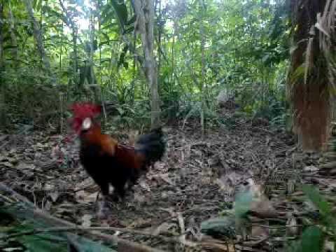 Pikat Ayam Hutan C4 - YouTube