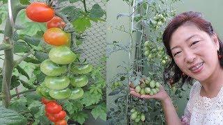 Como Produzir Tomates em Apenas 15 Dias