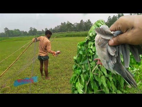 Catch Dove Birds With  Net In Village