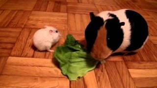 Lemming vs Guinea pig - food fight!