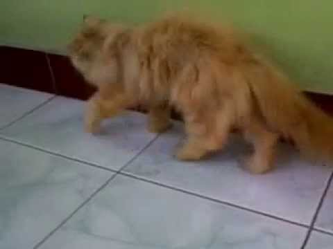 Jasa Pacak Kucing Persia Flatnose Dan Peaknose Funnycat Tv