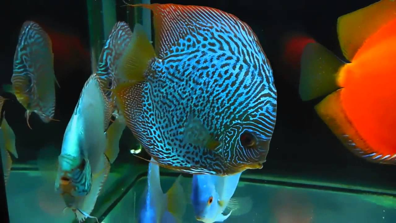 Stendker 39 s discus fish update year later youtube for Keeping discus fish