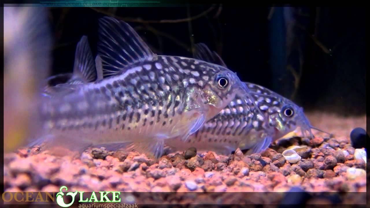 Zoetwater Aquarium Nieuws week 6   Ocean  u0026 Lake   YouTube