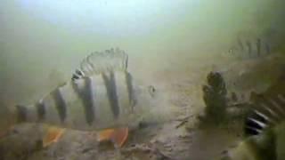 Вид из подо льда как клюет щука окунь и рак(Дайвинг вид из подо льда как клюет щука окунь.Камера видеонаблюдения Камера подводного видеонаблюдения..., 2013-04-07T14:20:21.000Z)