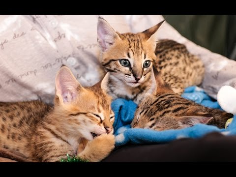 Savvy Paws F2 Savannah Kittens
