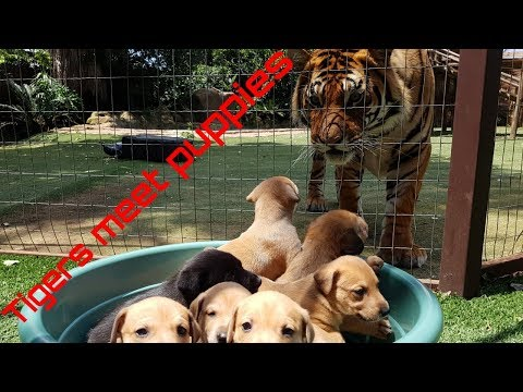 Tigers reaction to puppies