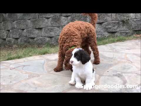 Mini Springerdoodles (Sproodles)