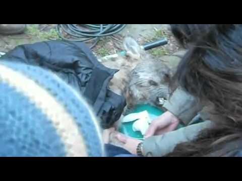 Navarre, il lupo salvato con la respirazione bocca a bocca