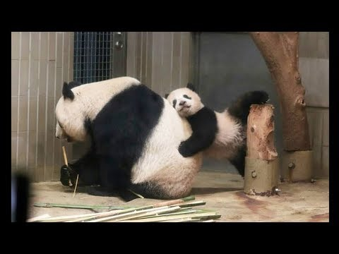 Cute Animals - Cute Baby Panda Videos Compilation #1