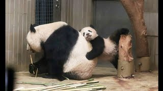 Cute Animals - Cute Baby Panda Videos Compilation #1