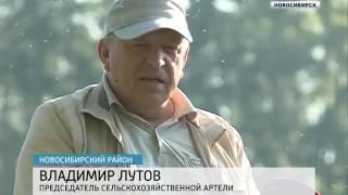 Своя ягода: в Новосибирской области в самом разгар