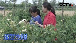 《我爱发明》 20200512 抢收金银花|CCTV农业