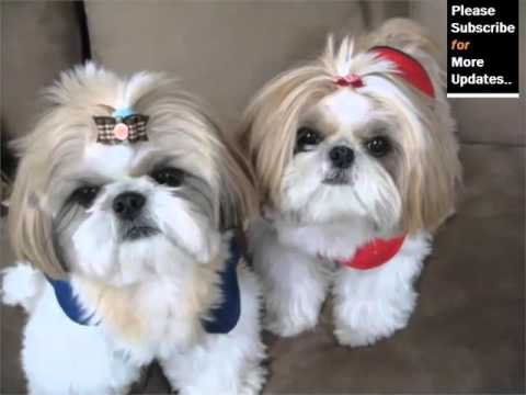 shih tzu dogs breeds shih tzu dog breed cute dog picture collection of breed 7908