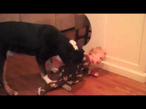 Greater Swiss Mountain Dog (Charlie) - Holds Child Hostage