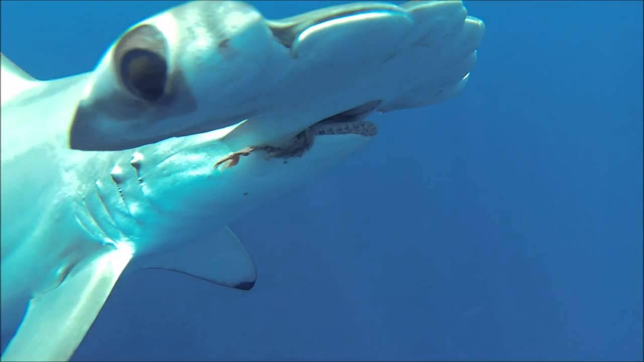 HAMMERHEAD SHARK ATTACK!!! - YouTube