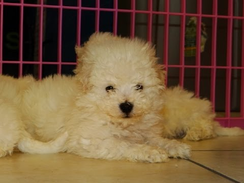 Bichon Frise, Puppies, Dogs, For Sale, In Aurora, County ...