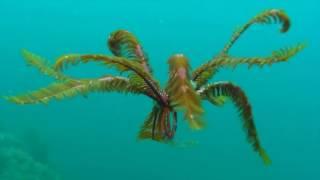 Feather Starfish aka Crinoid aka Sea Lilly