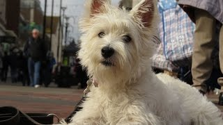 Poppy - Westie Puppy - 3 Week Residential Dog Training at Adolescent Dogs
