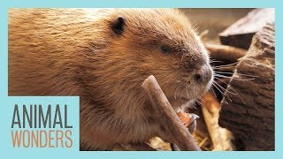 Huckleberry The Beaver's Big New Home!