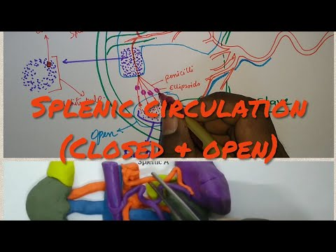 Splenic Circulation & Histology