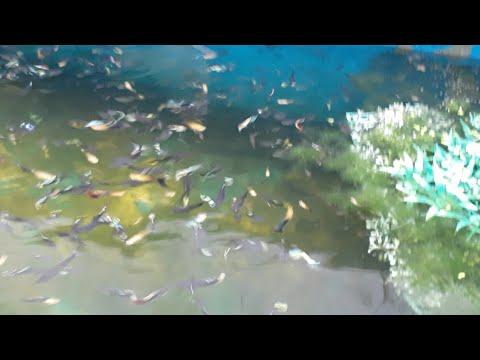 Ikan Hias Cantik Ikan Hias Aquarium Ikan Hias Air Tawar Youtube
