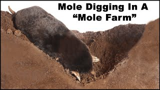 """Watch a mole dig tunnels in the """"Mole Farm"""". Live Trapping Moles - Mousetrap Monday"""