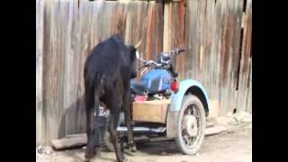 тёлка и мотоцикл