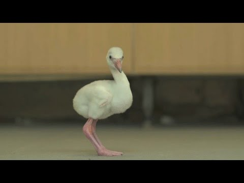AFP news agency: New flamingo chicks welcomed to UK zoo