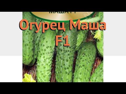 Огурец обыкновенный Маша F1 (masha f1) �� огурец Маша F1 обзор: как сажать семена огурца Маша F1