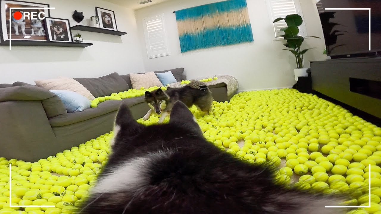 Leaving My Huskies Home Alone with a House Full Of Tennis Balls..