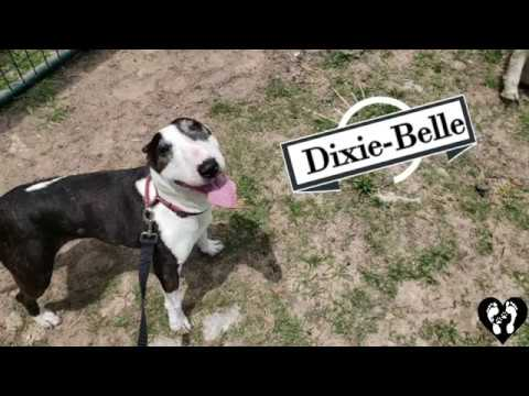 Houston dog training | 7 yr old aggressive miniature Bull Terrier Dixie learning control