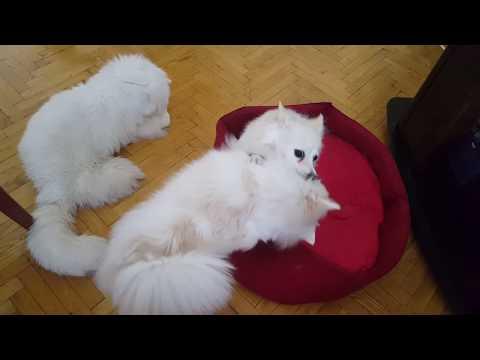 German Spitz: Playful breed - Germanskite shpicovi Sani i Lana se ,borat,