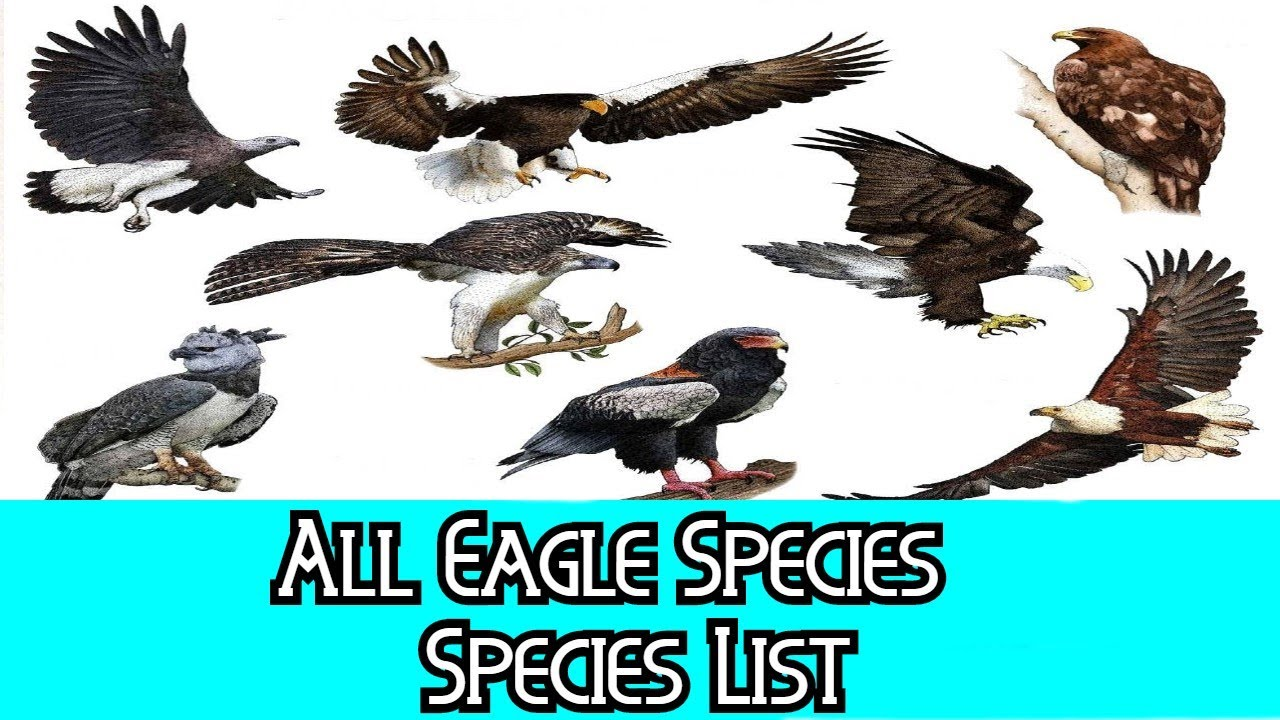 All Eagle Species Species List Youtube
