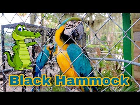 The Black Hammock In Oviedo Florida | Alligators, Birds And Airboat Rides