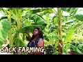 SACK FARMING KENYA BUSINESS SMALL SPACE BIG VEGETABLE HARVEST-Kemunto Bear