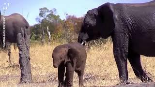 فيل صغير بدون خرطوم شاهد كيف يعيش