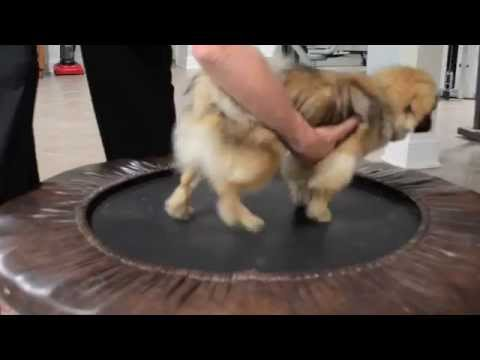 Tibetan Spaniel -- Training for the Show Ring