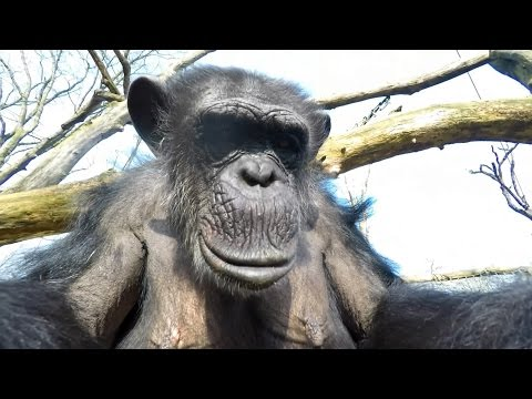 GoPro: Chimp vs. Drone at the Zoo