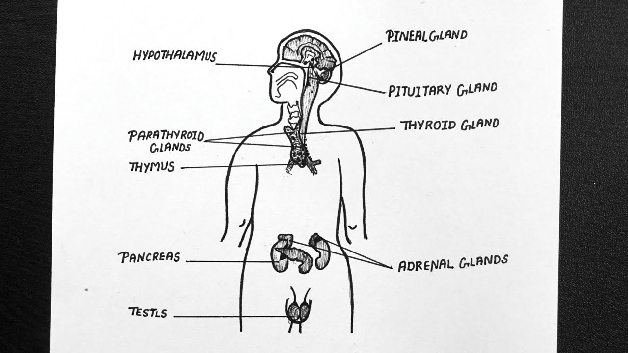 Diagram Of Endocrine Glands In Male How To Draw Human Endocrine