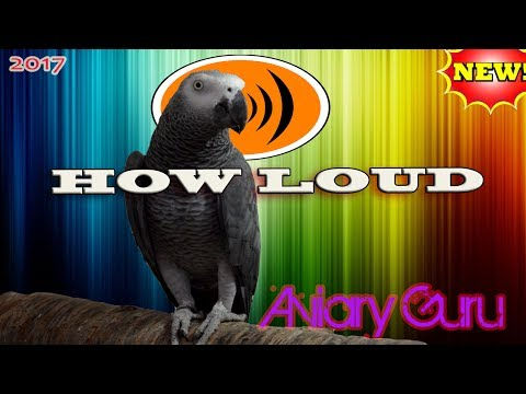 How LOUD are AFRICAN GREY PARROTS ? African Grey ! 2017
