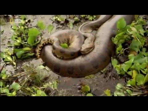 Гигантские змеи(Анаконда,Питон)ЧАСТЬ 1