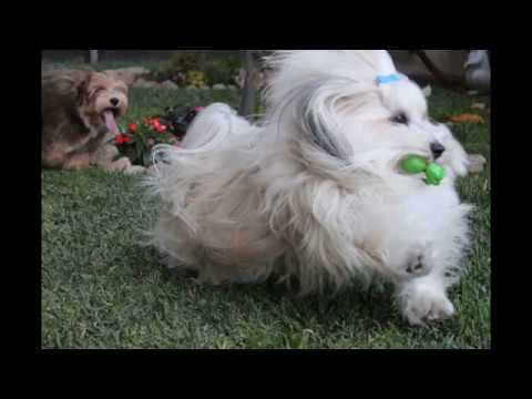 animals Havanese Dog