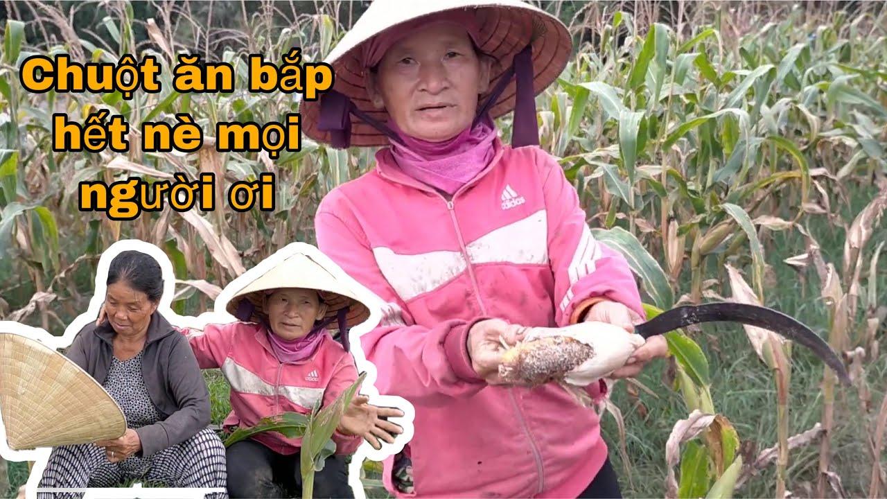 Trồng bắp mà chuột ăn hết trơn, vi rút đầy chợ nên chỉ dám ở nhà ăn mắm ăn cá khô thôi