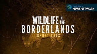 Isolated ocelots face a new danger