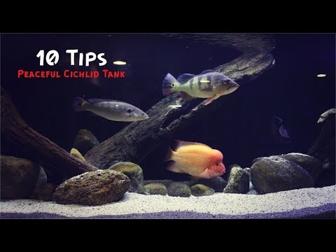 10 Tips For A Peaceful Cichlid Tank!!!