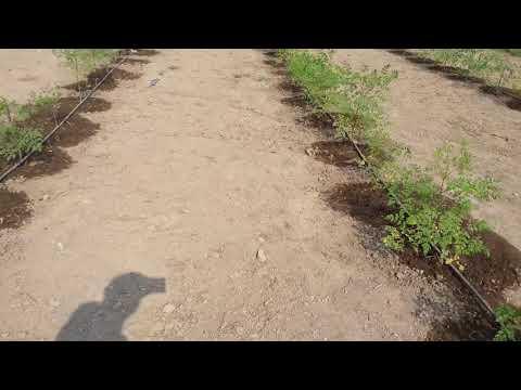 Moringa farming in Gujarat Jam Khambhalia