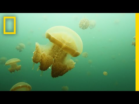 Jellyfish Swarm In These Rare Lakes In Indonesia | National Geographic